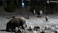 Paśnik dzikich zwierząt na żywo