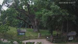 Ujęcie na najsłynniejsze drzewo Bartek w Polsce.