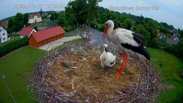 Bocian biały - widok na gniazdo z kamery Klekusiowo